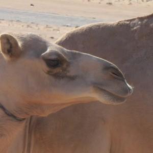 REISE-Logovid Oman Kamel